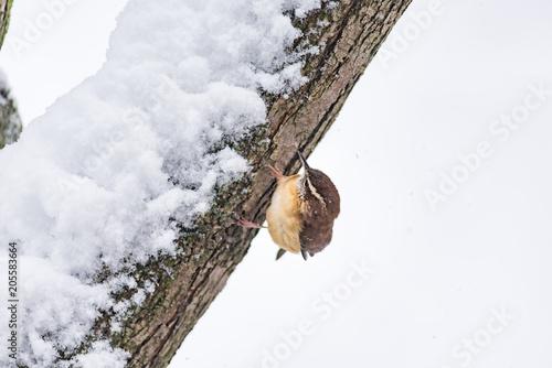 Fotografie, Obraz  Closeup of one small brown carolina wren bird sitting perched on tree branch tru