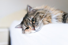 Closeup Portrait Of Cute Calico Maine Coon Cat Lying On Bed In Bedroom Room, Looking Down Sad Or Bored, Depression