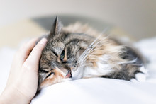 Closeup Portrait Of Cute Sad Calico Maine Coon Cat Lying On Bed In Bedroom Room, Being Massaged, Petted Stroked On Forehead Behind Ears
