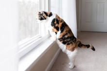 Female Funny Cute Calico Cat O...