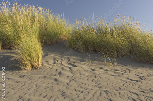 Beach grass blows amidst rippling sand. Slika na platnu