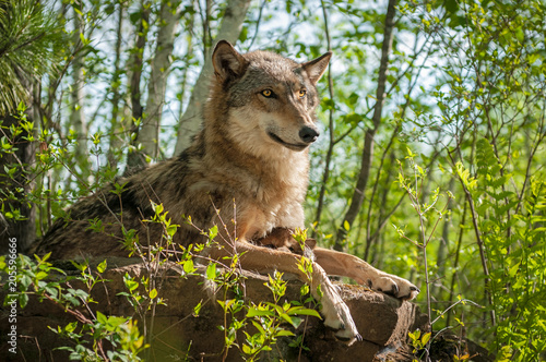 Grey Wolf (Canis lupus) Sits With Pup Underneath Her