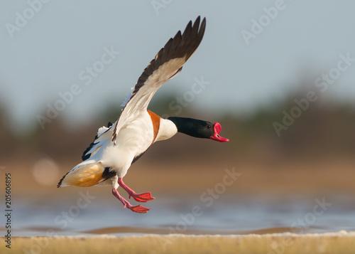 Common shelduck in flight (Tadorna tadorna)