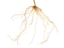 Roots Plant Isolated On White Background(Close Up)