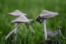 Incredible Close-up Of Mushrooms Growing In Yard. Wild Ink Cap Mushrooms In Grass In Utah, USA.