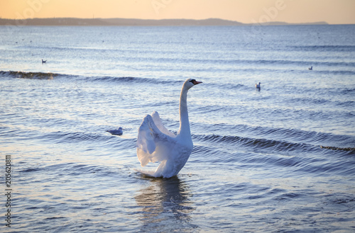 Swan on a beach in Swinoujscie town over Baltic Sea in Poland