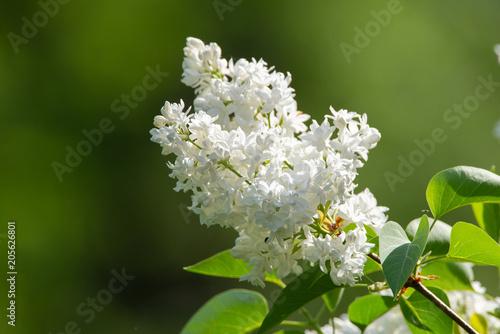 Fototapeta bez biały kwiat obraz