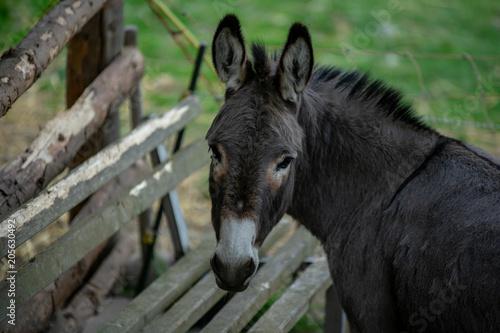 Poster Ezel Donkey restingin the green meadow