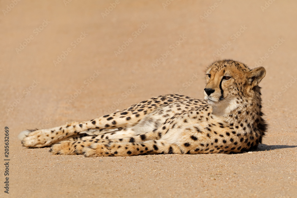 A relaxed cheetah (Acinonyx jubatus) lying down, South Africa.