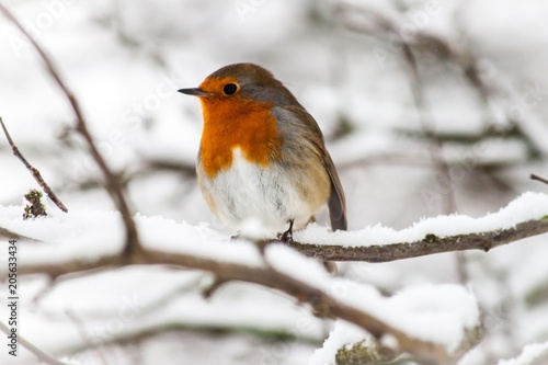 Photo  Red Robin in Snow