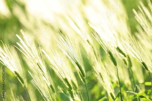 Fotografía 風にそよぐ麦