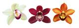 Fototapeta Storczyk - Tropical Orchid Cymbidium flowers. Hand drawn realistic vector illustration on white background.
