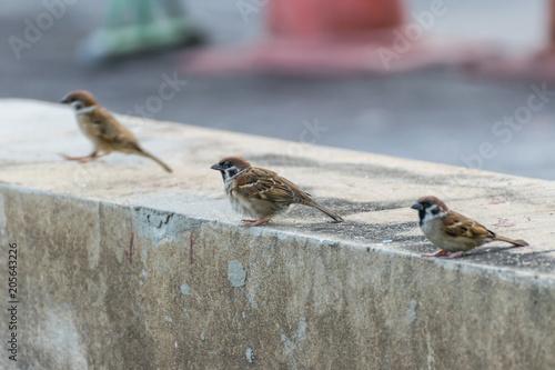 Cuadros en Lienzo Bird (Eurasian tree sparrow) in a nature wild