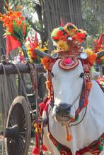 Bagan Parade Cow