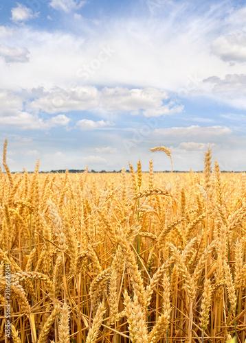 Fotobehang Platteland Field wheat in period harvest on background cloudy sky