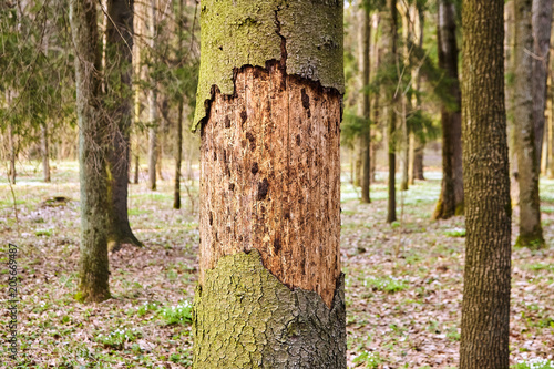 Canvas Print Trunk of spruce with exfoliating bark