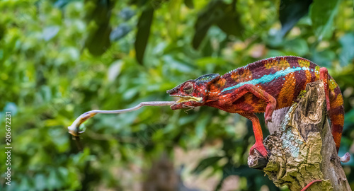 Papiers peints Cameleon Chameleon protrudes its long sticky tongue to trap a cricket in the primeval forests of the Andasibe National Park, Eastern Madagascar