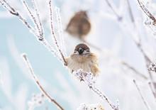 Little Bird Sparrow Sitting H...