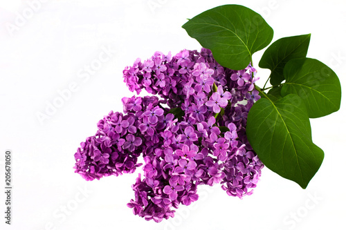 Fotobehang Lilac Branch of a lilac isolated on white background