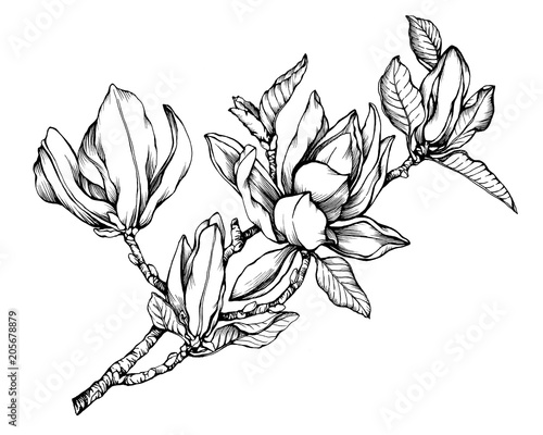 Photo  Branch of magnolia liliiflora (also called mulan magnolia) with flowers and leaves