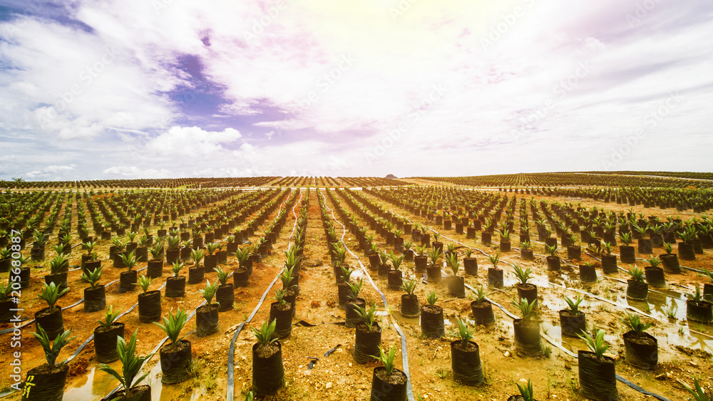 Fototapety, obrazy: Oil Palm Plantation, Oil Palm Seeding