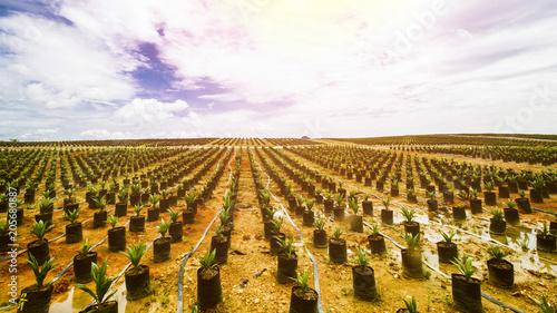 Photo  Oil Palm Plantation, Oil Palm Seeding