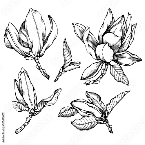 Set of blooming magnolia liliiflora (also called mulan magnolia) with flowers and leaves Poster