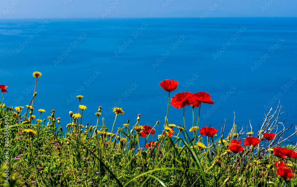 poppies meadow on the coast