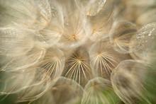 Yellow Salsify Seedhead