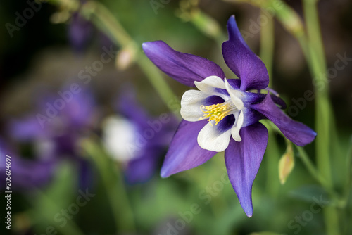 Canvas Print flower macro - Purple columbine, Aquilegia