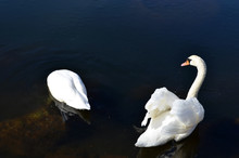 Couple Of White Swans In The W...