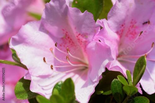 Foto op Canvas Azalea Satsuki azalea / Rhododendron