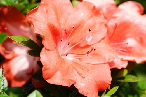 Papiers peints Azalea Satsuki azalea / Rhododendron