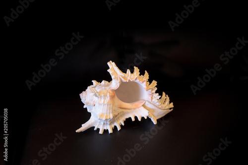 Giant Murex shell Hexaplex fulvescens