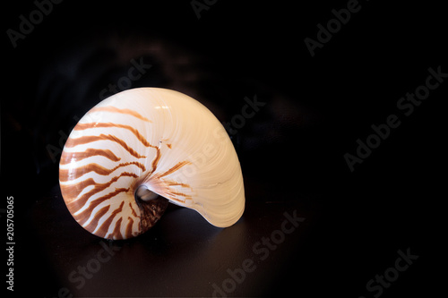 Valokuva  Chambered Nautilus seashell Nautilus pompilius pompilius
