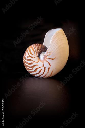 Fotografie, Obraz  Chambered Nautilus seashell Nautilus pompilius pompilius