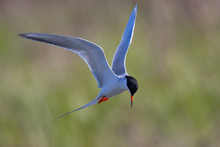 Forster's Tern About To Dive I...