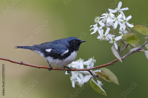 Canvas Print Male Black-throated Blue Warbler perched on a serviceberry branch