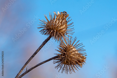 Canvas Print closeup on dry burdock seed head or burr against blue sky
