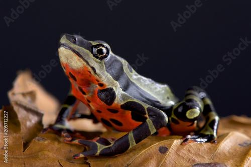 Limon harlequin frog (Atelopus sp Limon)