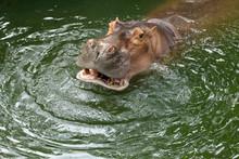 Hippo / The Hippopotamus, Or H...