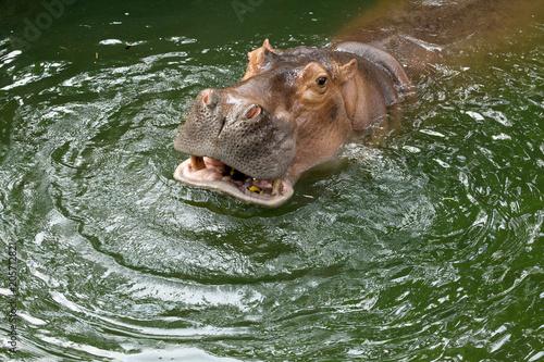Photo hippo / The hippopotamus, or hippo, mostly herbivorous mammal in sub-Saharan Africa