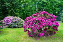 Beautiful Blooming Azalea - Rh...
