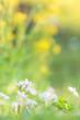 ハナニラと菜の花