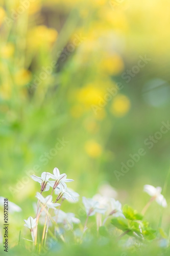 Fototapeta ハナニラと菜の花 obraz na płótnie