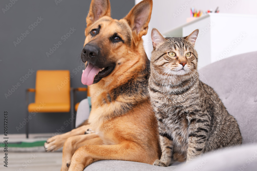Fototapety, obrazy: Adorable cat and dog resting together on sofa indoors. Animal friendship