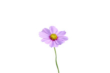 Colorful Purple Flowers Blooming,Mexican Aster