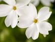 Nahaufnahme von weißen Blüten
