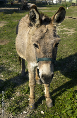 Deurstickers Ezel Donkey on the pasture in the Black Forest, Buehl, Germany, Baden Wuerttemberg