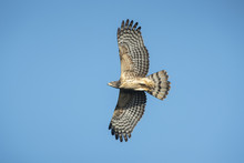 Bird Hunter ,Oriental Honey-Buzzard Flying On Blue Sky